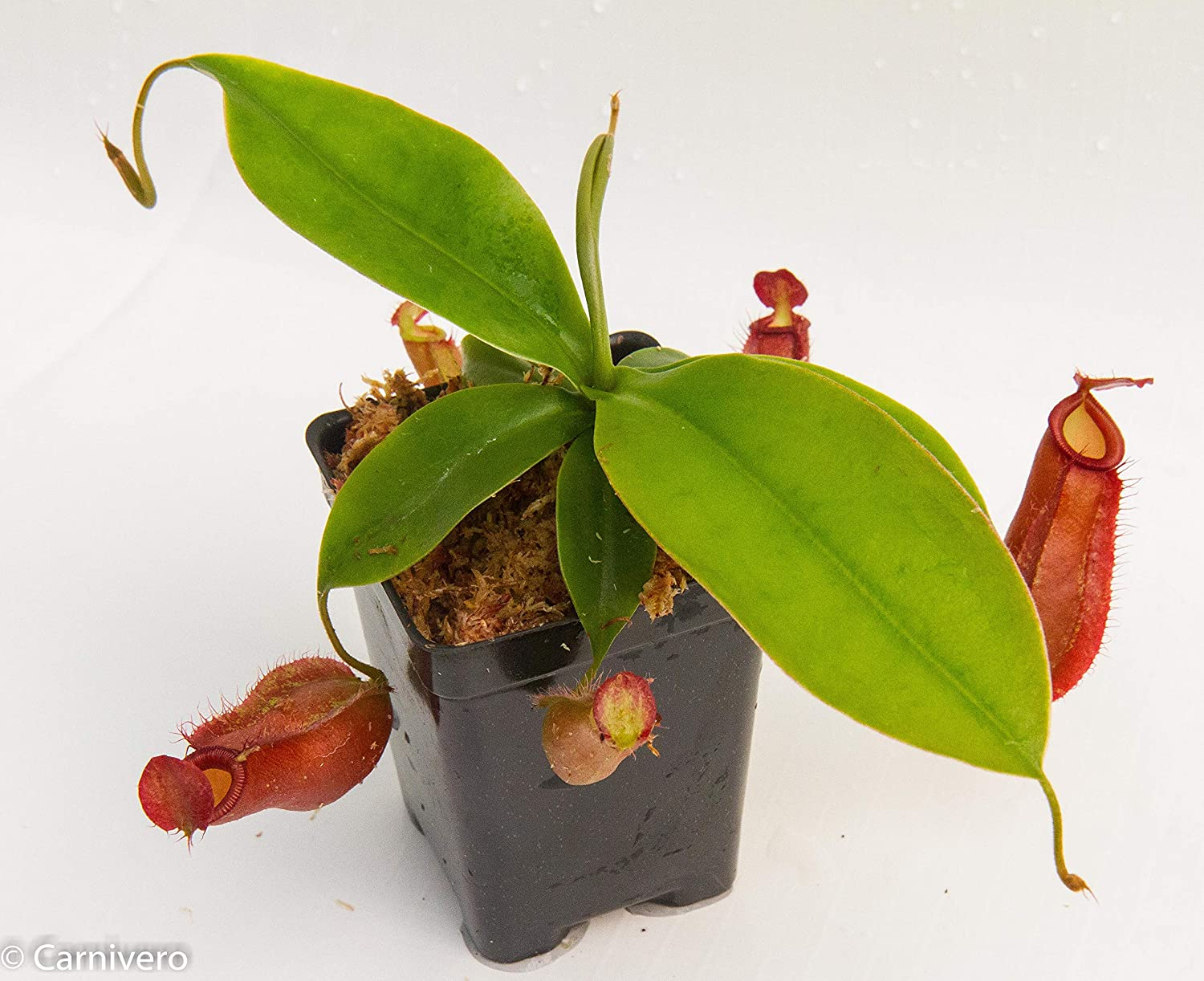 Nepenthes Diana Tropical Pitcher Plant Carnivorous Plant