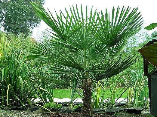 TUS PLANTAS A CASA | TRACHYCARPUS FORTUNEI | PALMERA EXCELSA| MACETA 20CM | PLANTA NATURAL: Amazon.es: Jardín