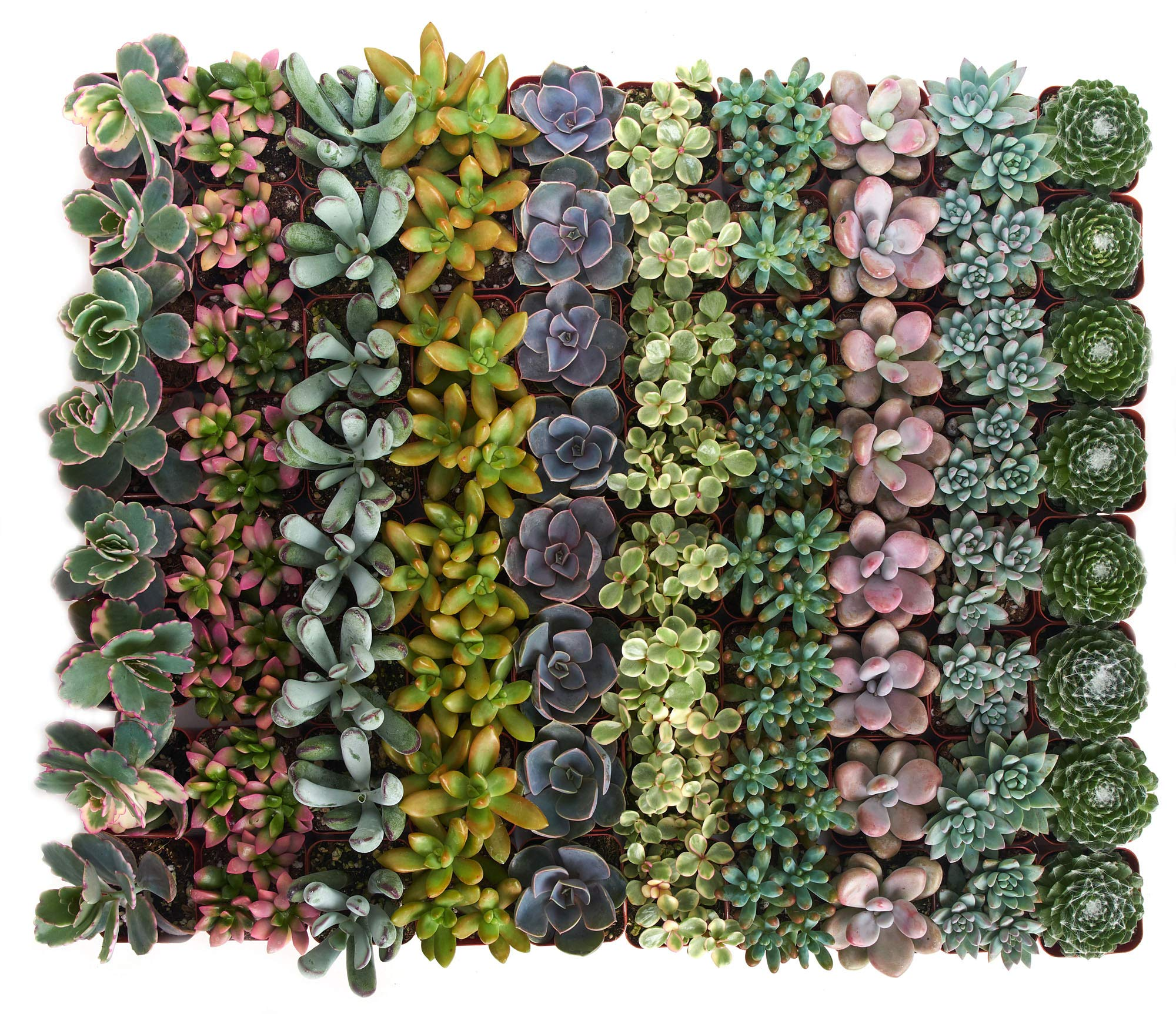 Shop Succulents | Premium Pastel Collection of Live Succulent Plants, Hand Selected Variety Pack of Mini Succulents | Collection of 32 by Shop Succulents