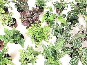 "Mini Terrarium Plants (6 Plants) (2"" Pots) Fairy Garden Plants Assorted Varieties"