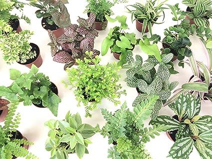 Amazon Com Mini Terrarium Plants 6 Plants 2 Pots Fairy Garden