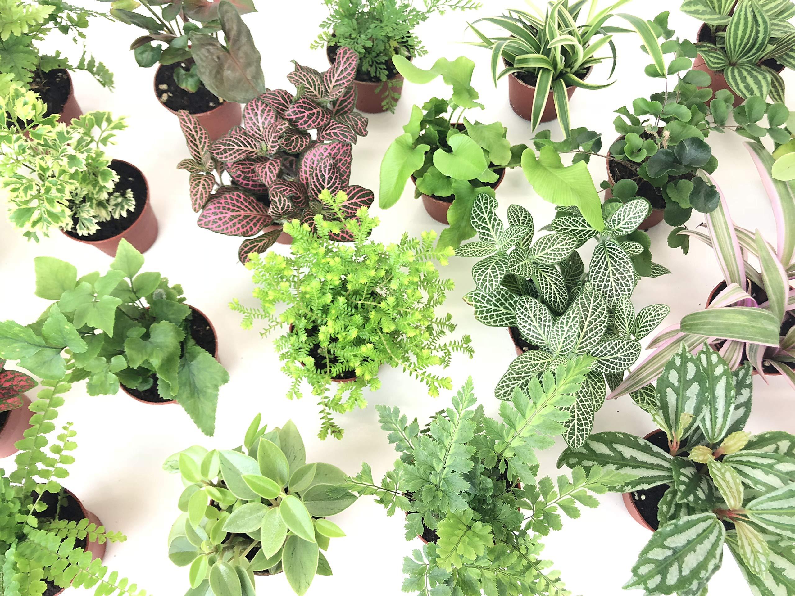 Mini Terrarium Plants (6 Plants) (2'' Pots) Fairy Garden Plants Assorted Varieties