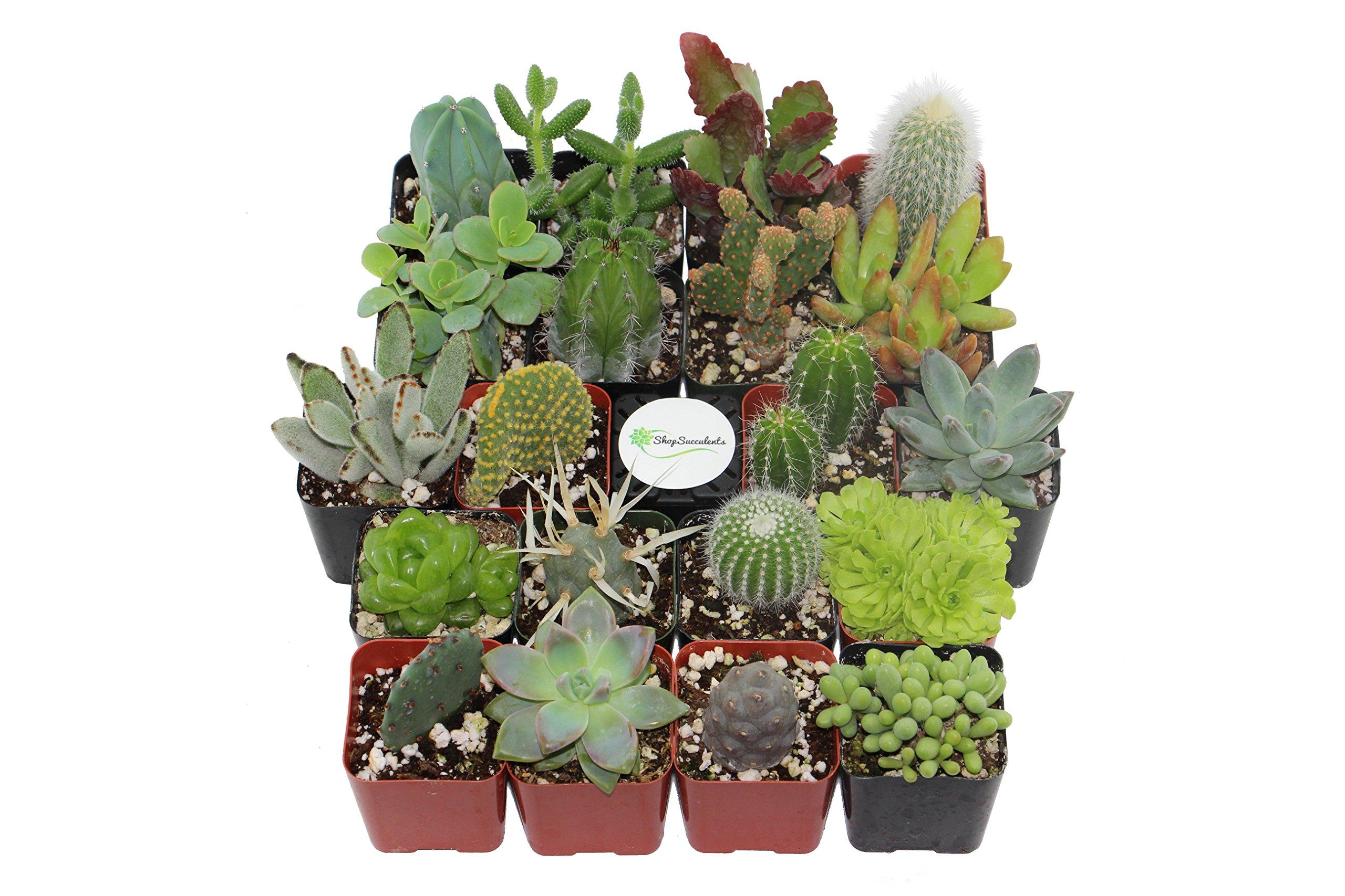Shop Succulents | Cactus & Succulent Collection of Live Succulent Plants, Hand Selected Variety Pack of Cacti and Mini Succulents | Collection of 20 by Shop Succulents (Image #2)