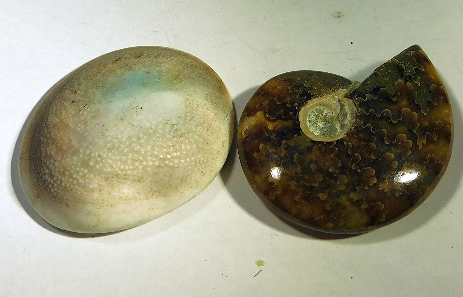 Britain-E-Spheres Crystal - 40mm x 31mm x 12mm (18g) Genuine Specimen Fossil Cleoniceras Ammonite and 41mm x 36mm x 11mm (21g) Conch Shell (Early Cretaceous Period - 120 Million Years) - ***SINGLE UNIQUE ITEM LISTING*** Britain-E-Spheres Crystal (UK)