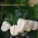 SEMI PEPERONCINO-HABANERO CHOCOLAT E HABANERO WHITE GIANT-