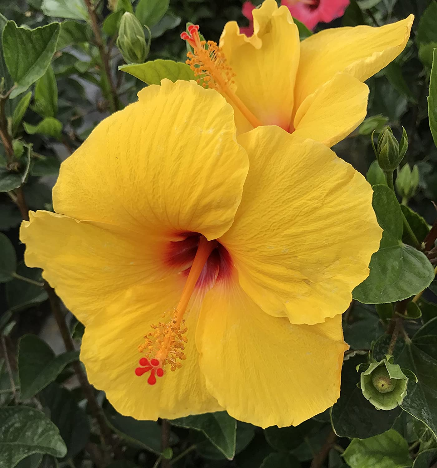 Amazon Hibiscus Yellow Tequila Live Plant Garden Outdoor
