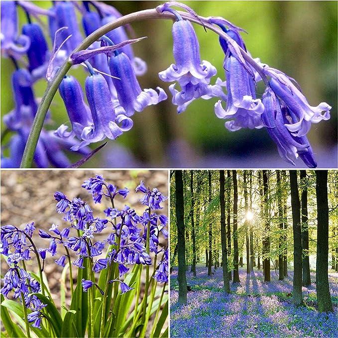 10 SINGLE SNOWDROP BULBS /& 10 BLUEBELL BULBS Premium Quality Flowering Bulbs