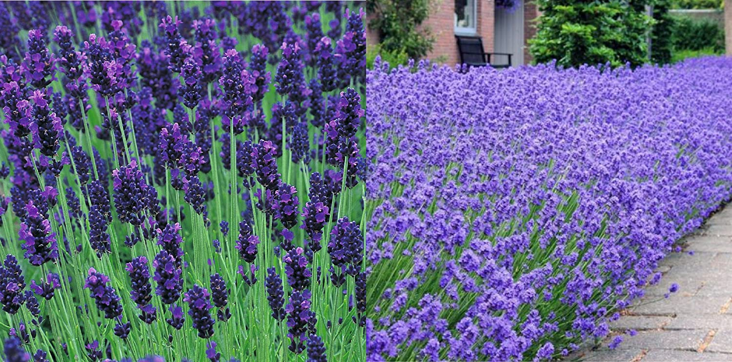 6 Stunning 9cm Lavender Hidcote and Munstead Plants The Wolds Collection