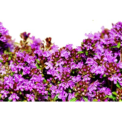 RDR Seeds 10, 000 Creeping Thyme Seeds - Breckland Thyme, Wild Thyme, Thymus Serpyllum, Mother of Thyme, Groundcover Flowers : Garden & Outdoor