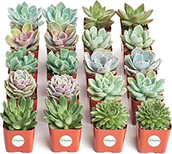 Shop Succulents Radiant Rosette Live Mini Succulent 20-Plant Collection