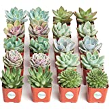 Shop Succulents Rosette Succulent (Collection of 20)