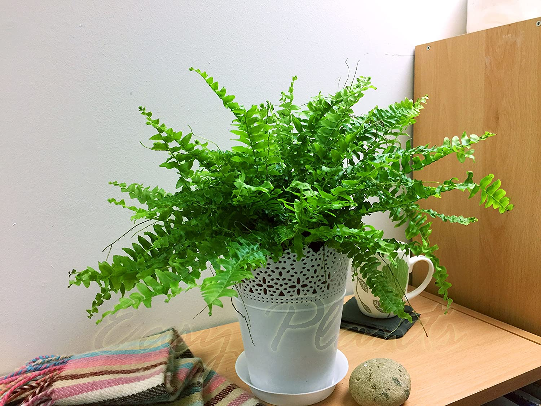 1 Easy Plants® Boston Fern Table Plant @ White Floral Pot & Saucer