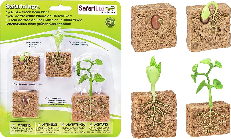 Safari Ltd Life Cycle of a Green Bean Plant