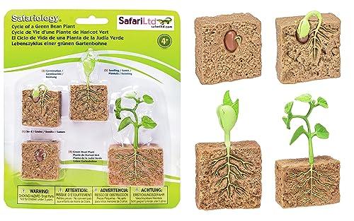 Safari Life Cycle Of A Green Bean Plant