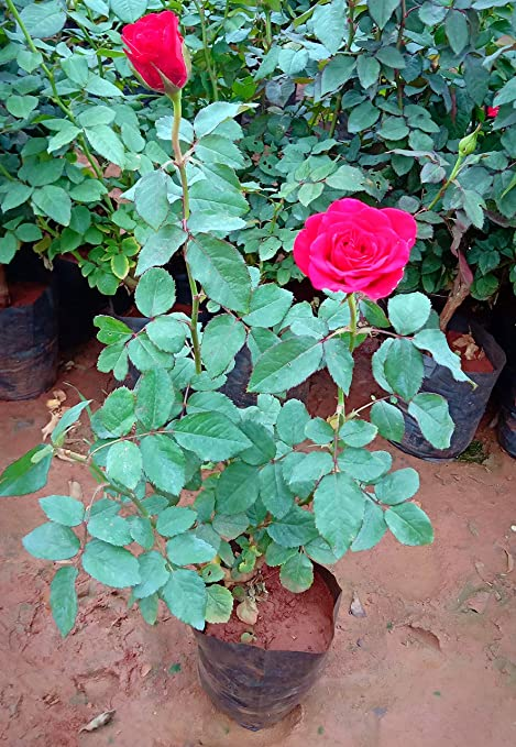 Zooqa Roses Red Rose Plant 5 Leaves Strong Stem With Pot