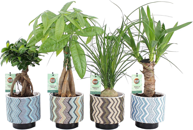 Plantas de interior de Botanicly – 4 × Ficus GinSeng, Beaucarnea, Pachira, Yucca en maceta multicolor como un conjunto – Altura: 35 cm