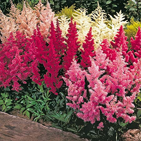 Perennial Beauty-Astilbe Arendsii Bunter 100 Mix Astilbe Flower Seeds