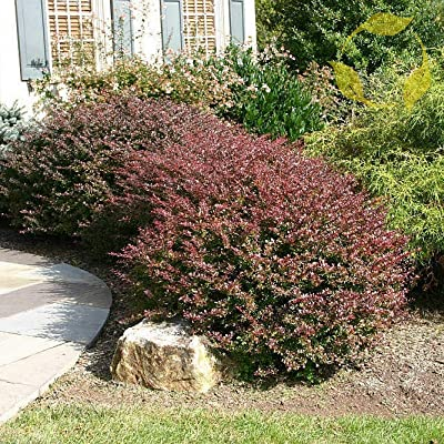 Toyensnow - Japanese Barberry Berberis Thunbergii Atropurpurea (10+ Seeds) : Garden & Outdoor