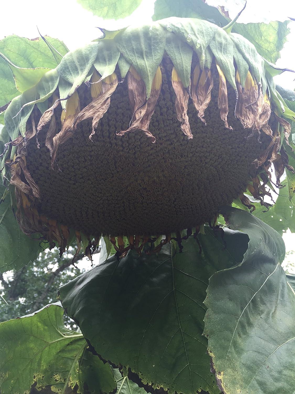 #1257 GIANT SUNFLOWER*28 FT.*Amazon/Sunzilla Cross Hybrid*7 seeds*