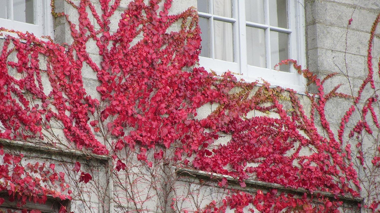 Parthenosissus Quiunquifolia- Carmes/í Virginia Enredadera 20 Semillas Tree Seeds Online Paquete con 1
