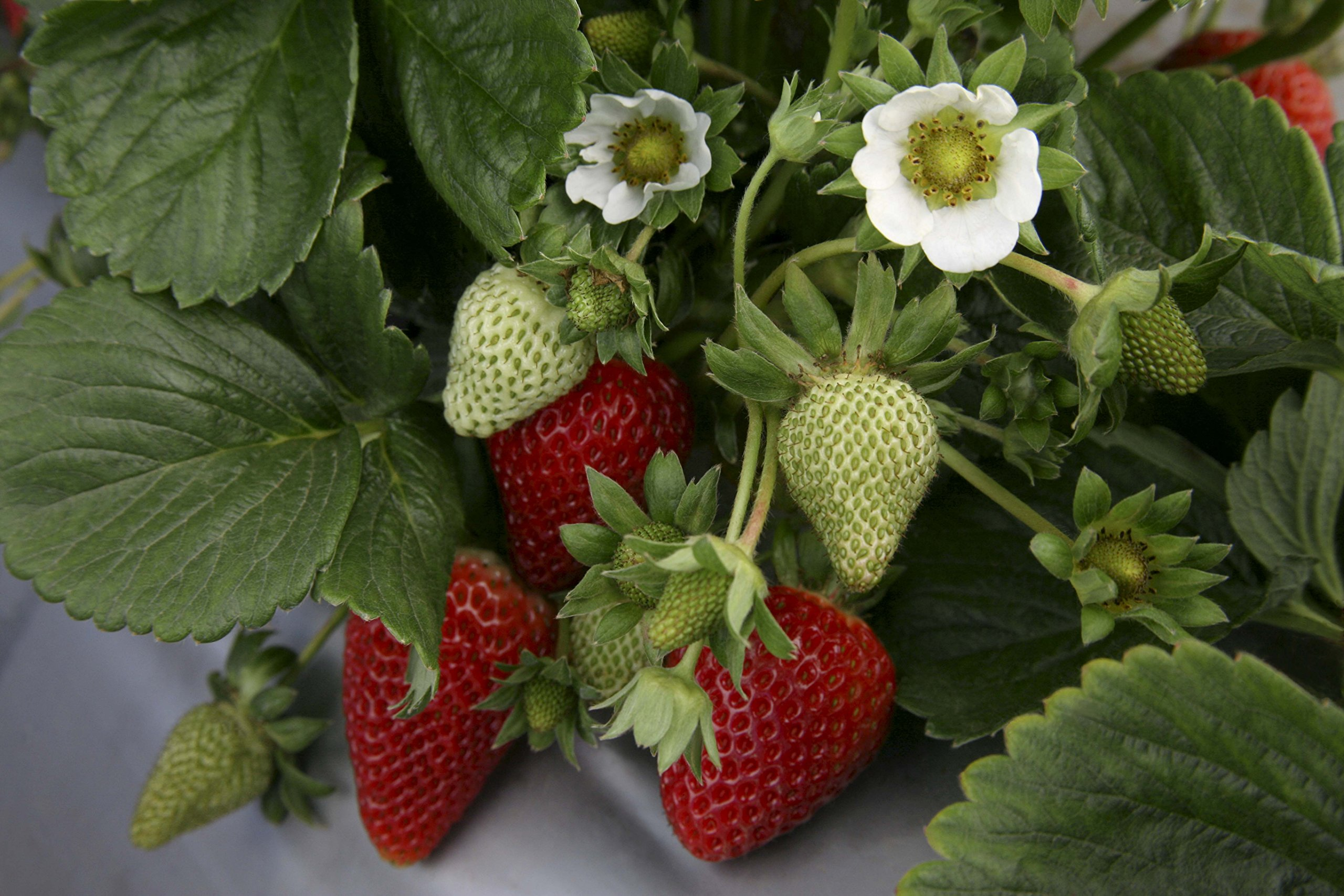 """Picture of 2 (TWO) Live Strawberry Chandler Vegetables Plant Fit 4"""" Pot"""
