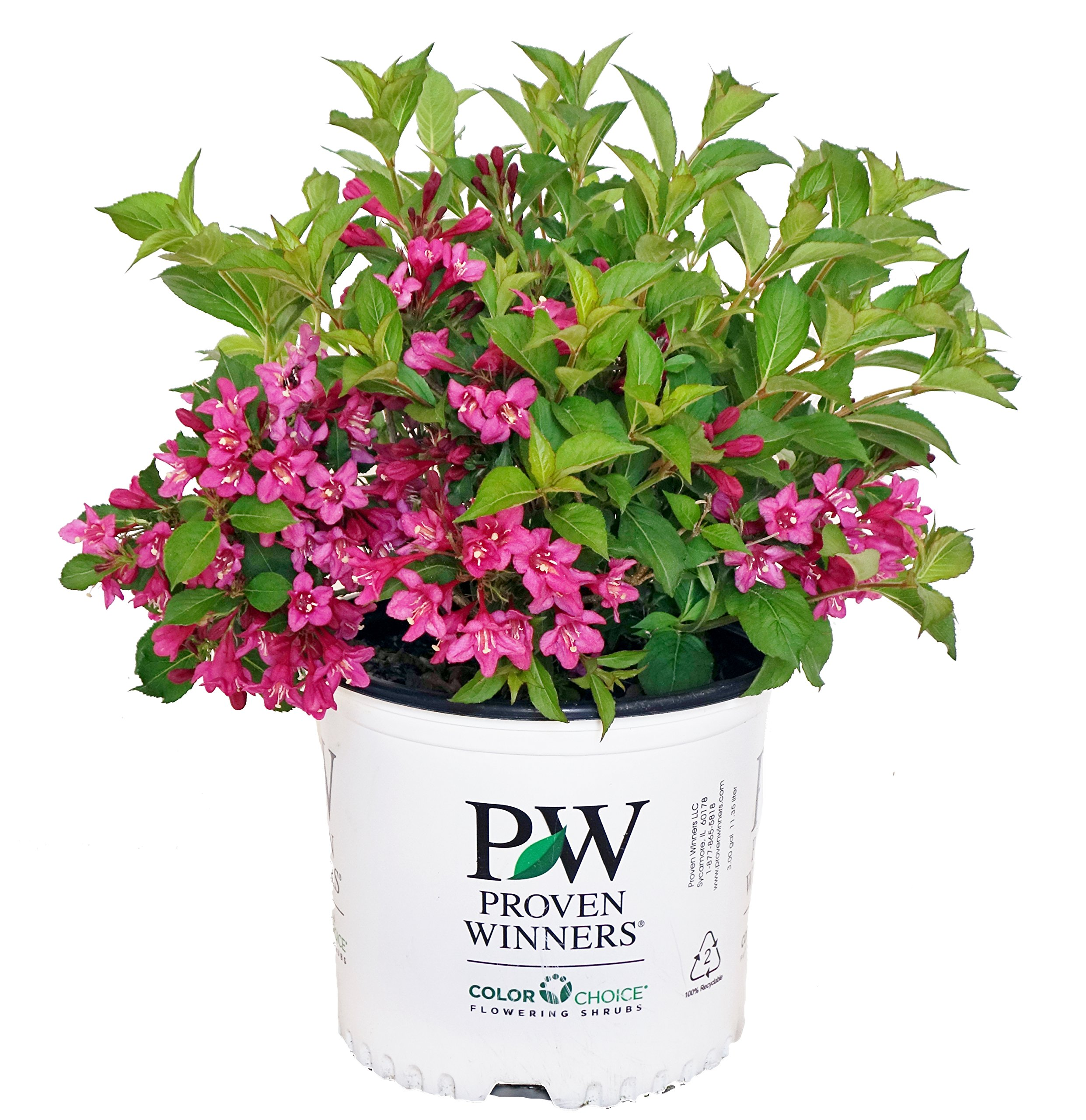 Proven Winners - Weigela Flordia Sonic Bloom Pink (Reblooming Weigela) Shrub, Pink Flowers, #3 - Size Container by Green Promise Farms