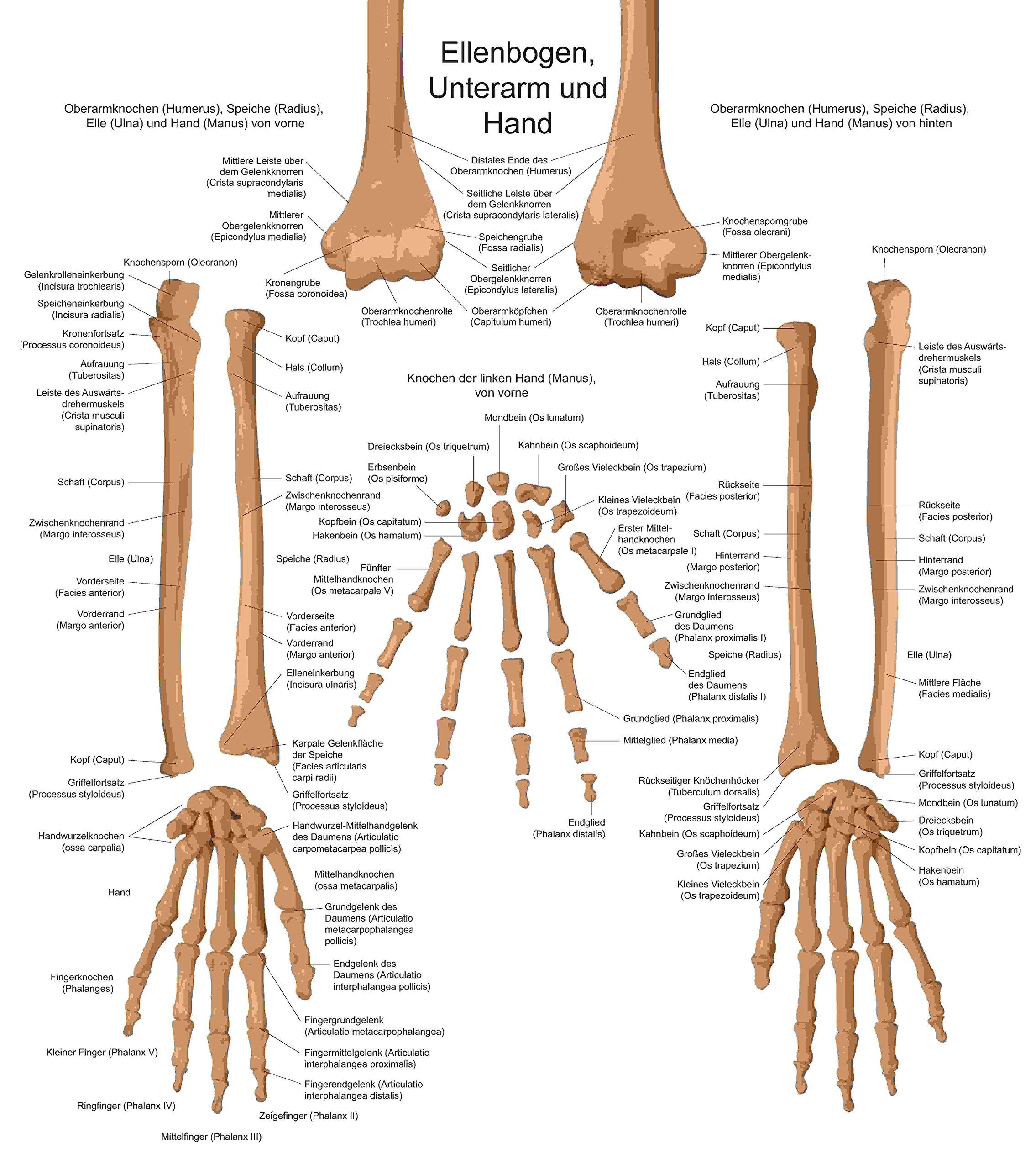 Das menschliche Skelett. Mit 10 Schautafeln und drei Riesenpostern ...