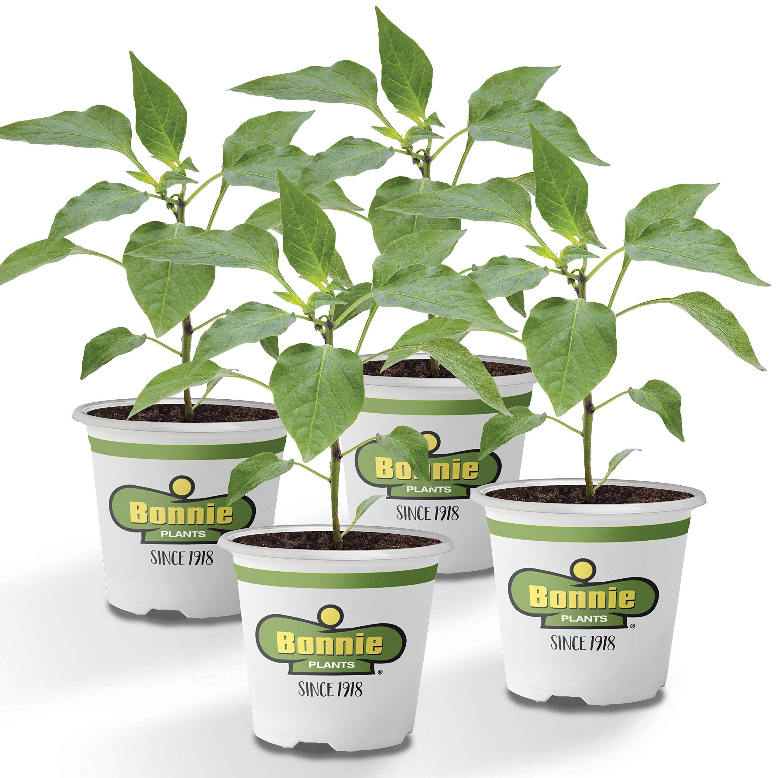 Bonnie Plants Jalapeno Hot Pepper Live Vegetable Plants - 4 Pack | Most Popular Chile Pepper | Non-GMO | 24 - 48 Inch Plants | 3 Inch Pepper Size by Bonnie Plants (Image #1)