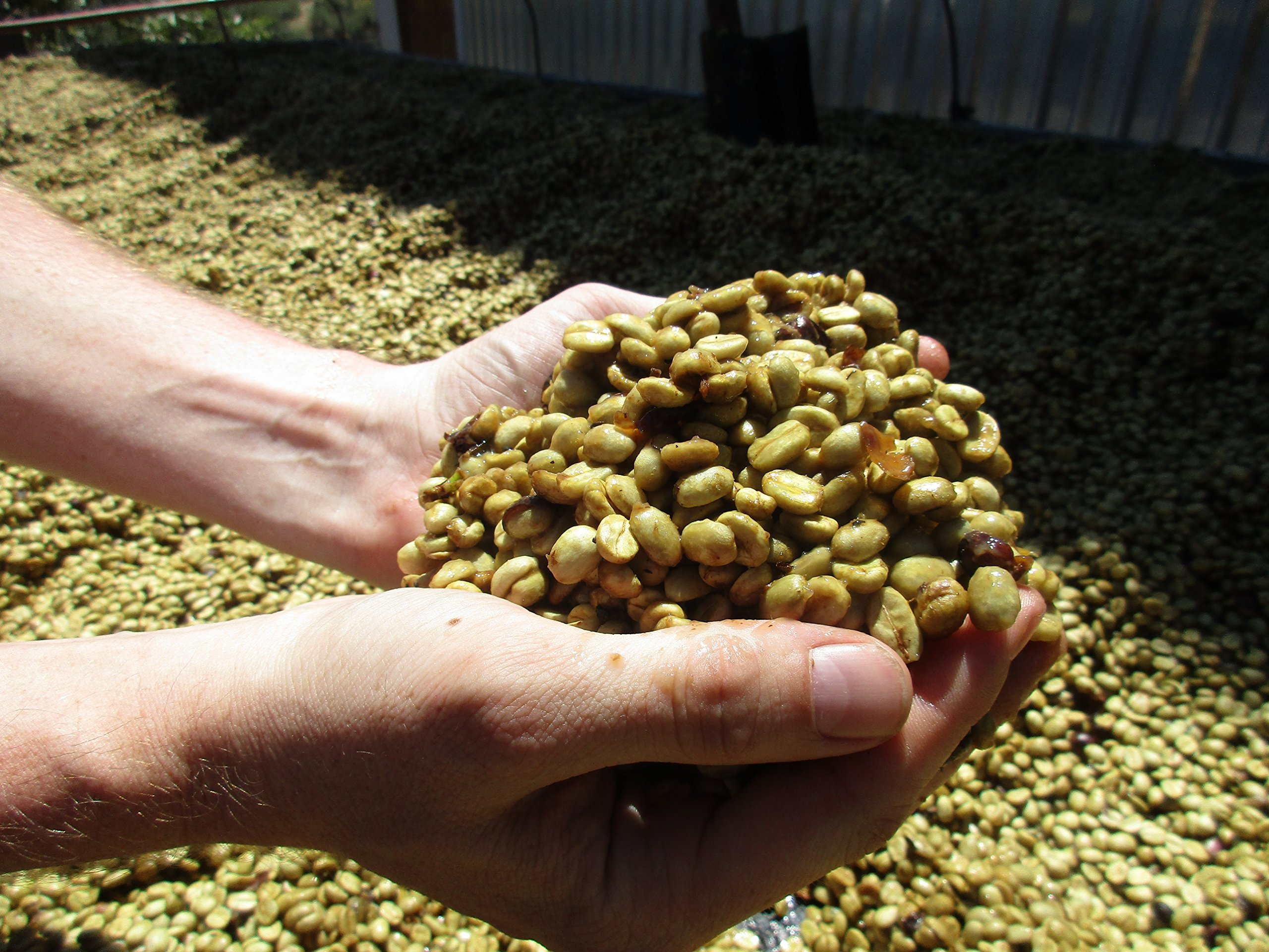 Costa Rica Olman Aguilera Honey (5 LB) Unroasted Green Coffee 100% Specialty Arabica Caffeinated Beans