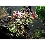 Aquatic Arts Dark Red Ludwigia - 2 Bunches - Large Live Aquarium Plant