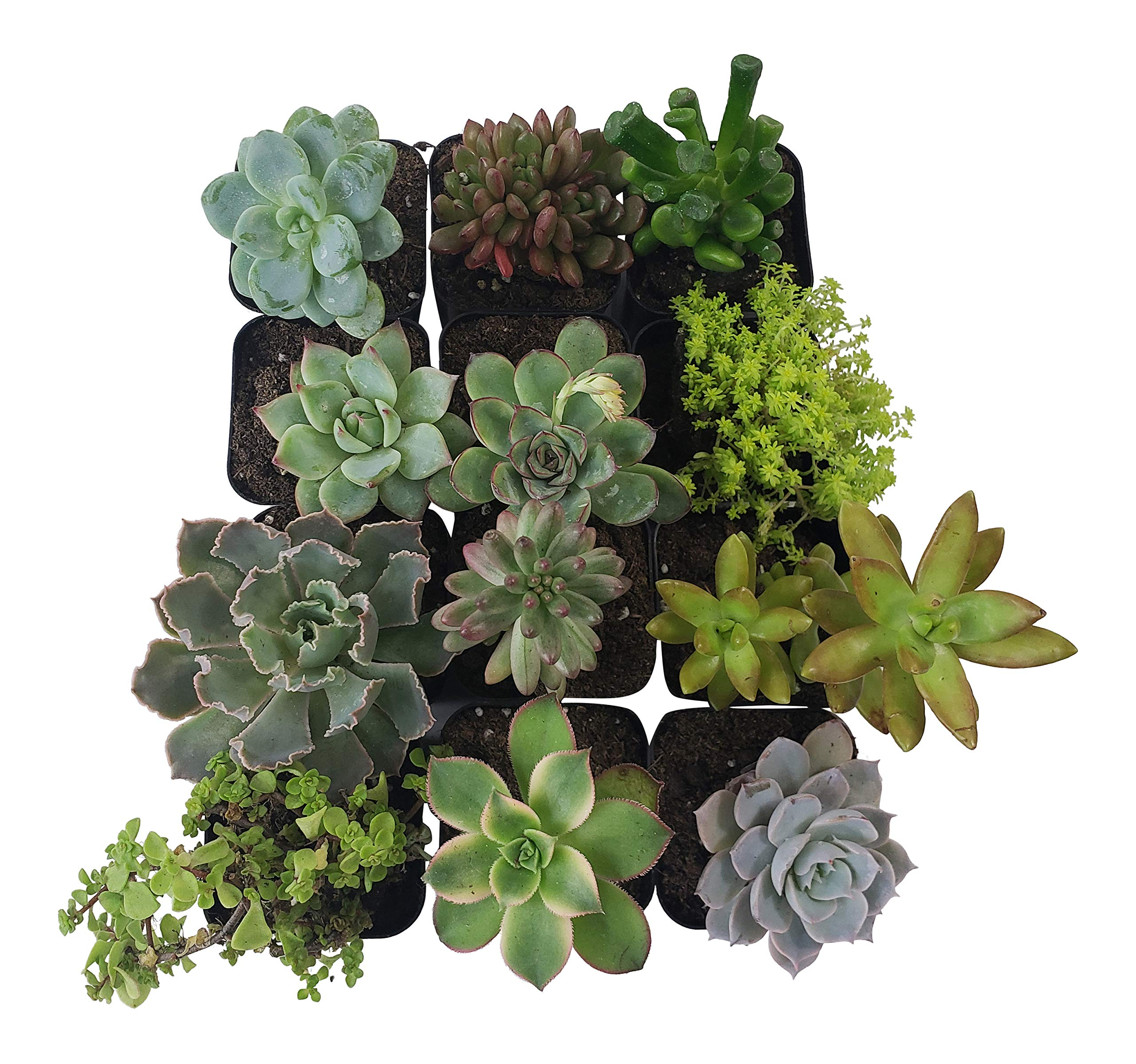 Succulent Plants [12 Pack Succulents] - Rooted 2 Inch Succulents in Planter Pots with Soil, Unique Live Indoor Plants for Decoration, Easy Care Plant Decor by Succulent Depot