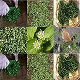 HEIRLOOM NON GMO Chickweed 100 seeds