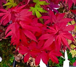 Little Red Dwarf Japanese Maple- Brick Red Leaves on a Tight Compact Maple - 2 - Year Live Plant