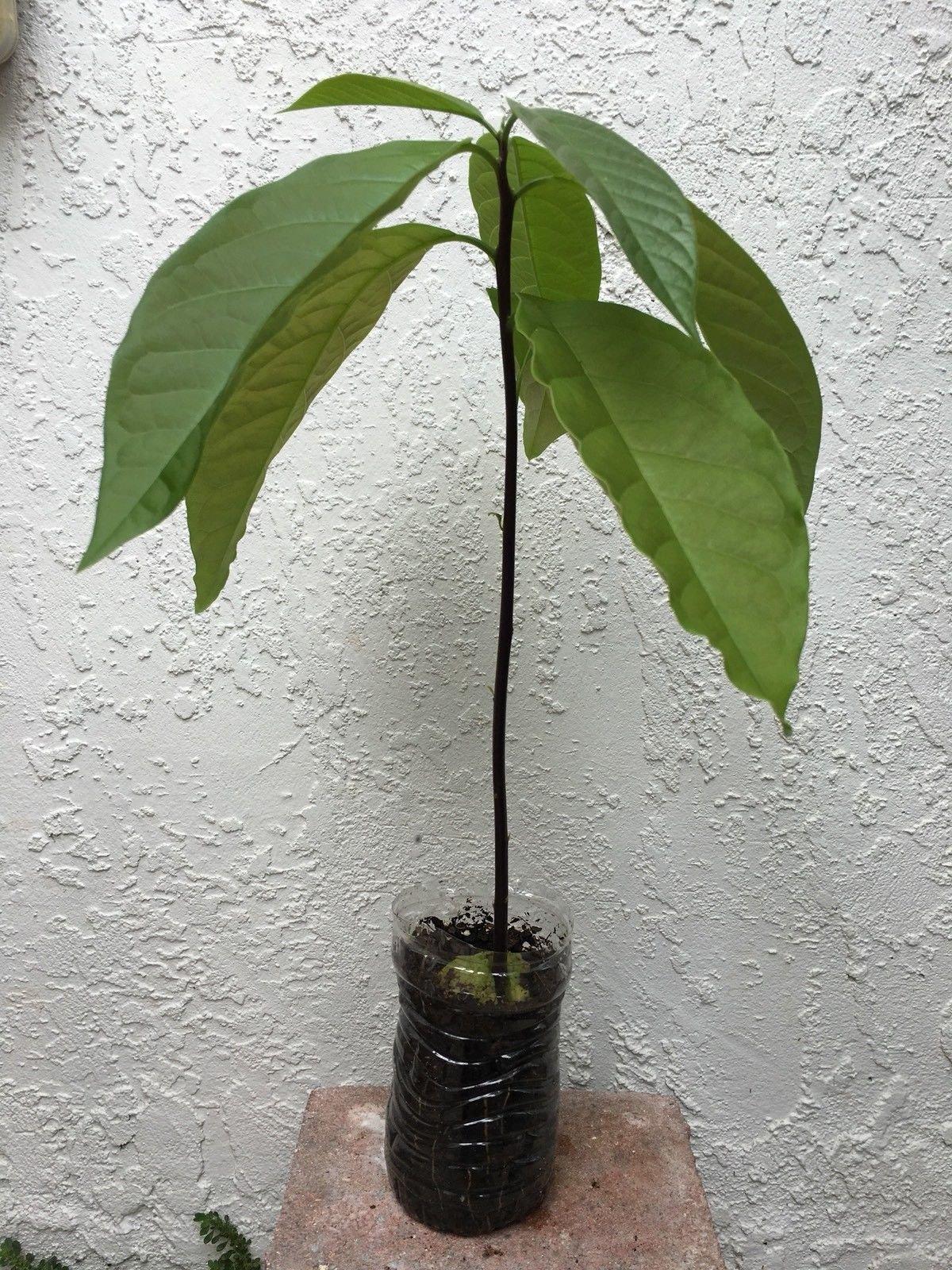 1 AVOCADO TREE PLANT ORGANIC PLUS