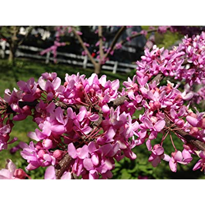 1 Packet of 40 Cercis Canadensis Mexicana - Mexican Redbud Tree Seed : Garden & Outdoor