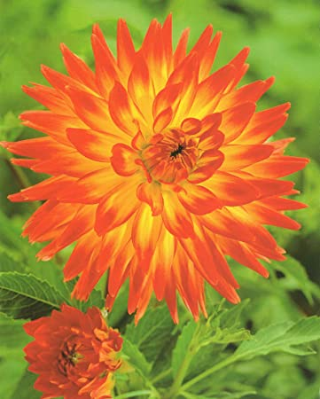 3 Hirschgeweih Dahlien gro/ßblumig Black Touch Knollen Blumenzwiebeln