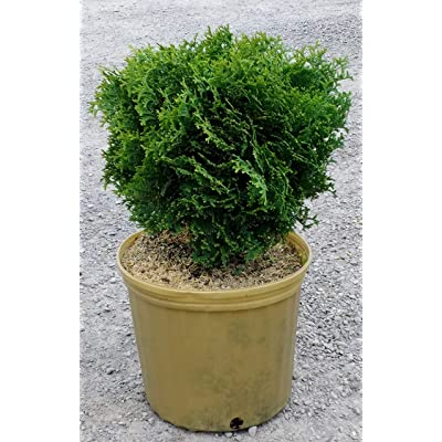 Hetz Midget Arborvitae - Dwarf Evergreen Shrub - 3 Gallon Pot : Garden & Outdoor
