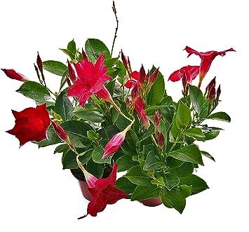 Dipladenia Mandevilla In Rot 2 Pflanzen Eine Bluhende Schonheit