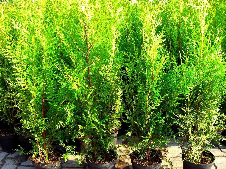 10 Stück Heckenpflanzen Lebensbaum Thuja Brabant Topfware 30 180cm