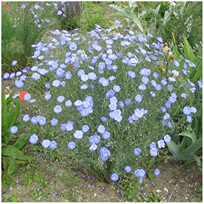 Earthcare Seeds Blue Flax 1500 Seeds (Linum perenne) Non GMO, Heirloom : Garden & Outdoor