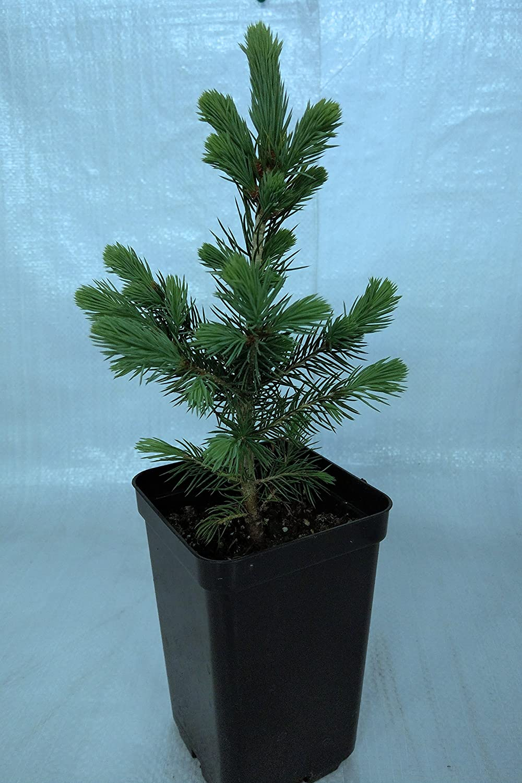 3 Silver Birch Trees 3-4ft,Stunning Winter Colour,Betula Pendula Plants 3fatpigs/®
