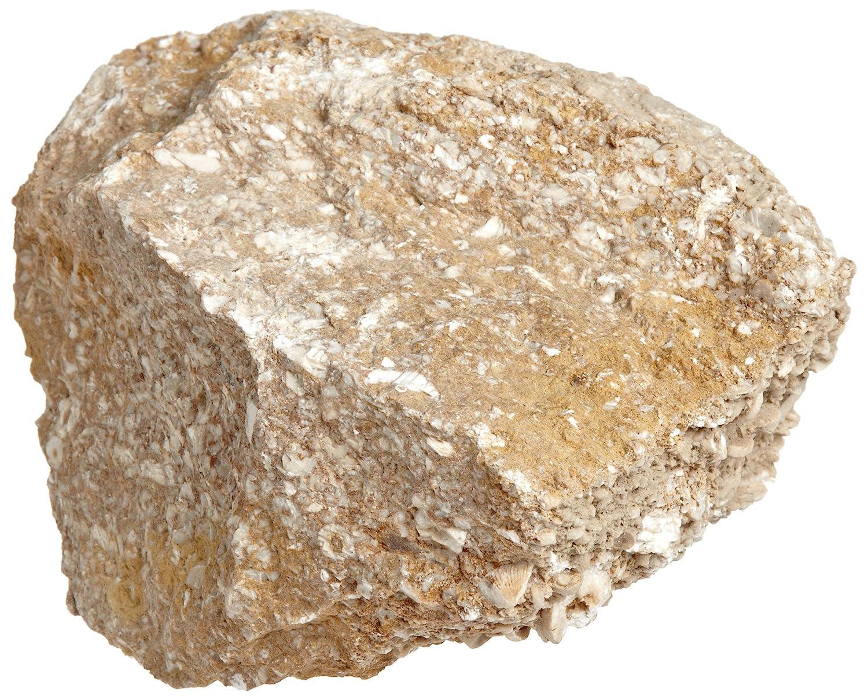 American Educational Buff Fossiliferous Limestone Sedimentary Rock