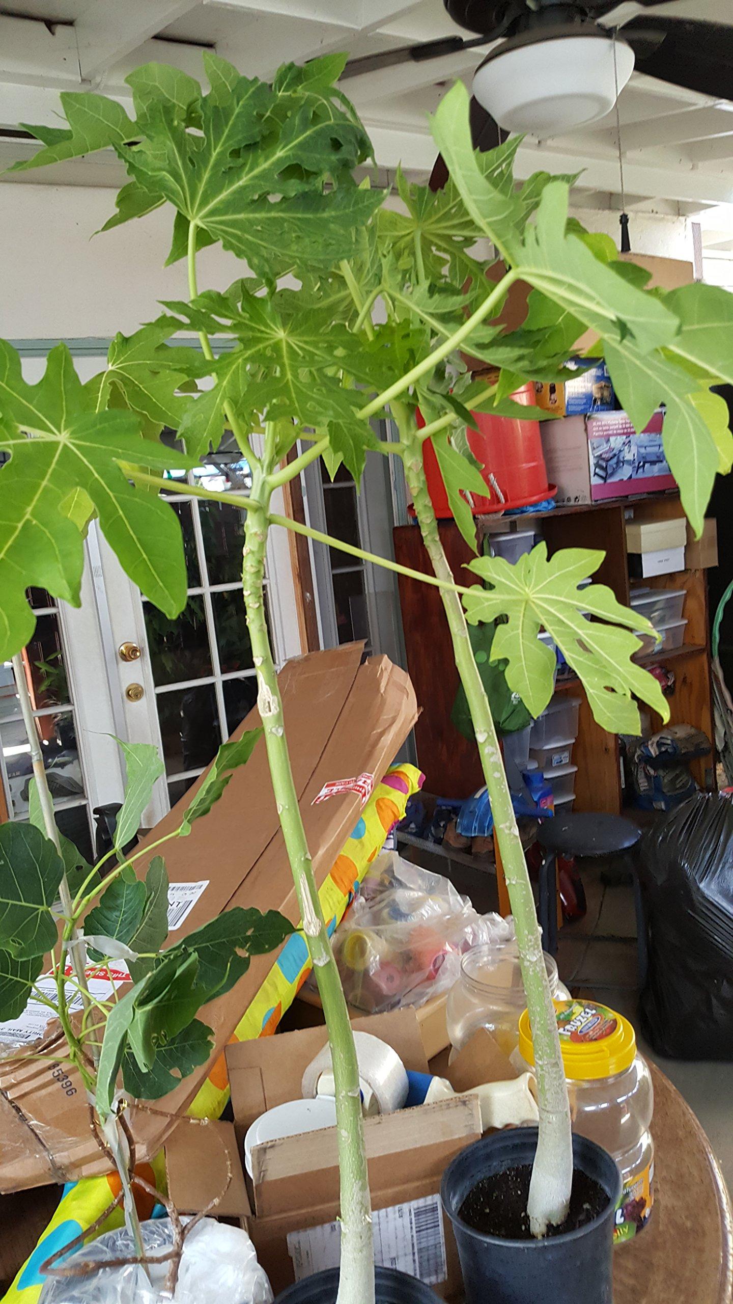 9EzTropical - Hawaii Solo Papaya - Great Fruit Tree - 1 to 2 Feet Tall - Ship in 1 Gal Pot