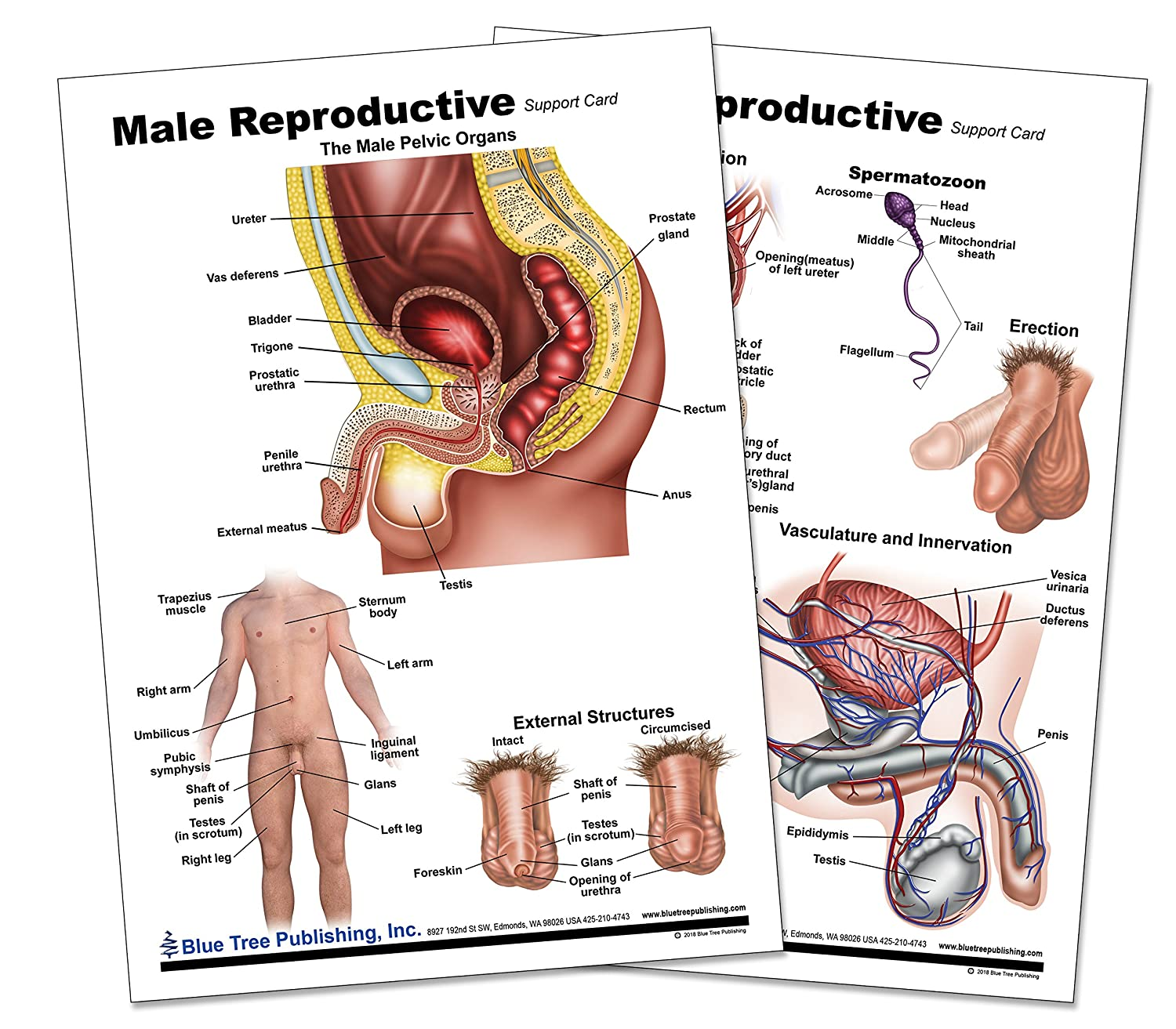 Male Reproductive Anatomy Chart Amazon Industrial Scientific
