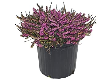 Amazon kramers red spring heather red flowering plant in 2 kramers red spring heather red flowering plant in 2 gallon pot erica kramers mightylinksfo