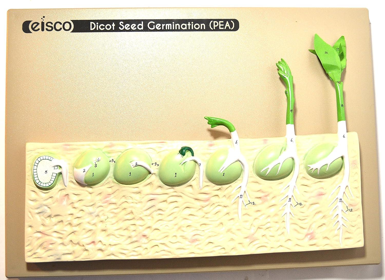 nueva gama alta exclusiva Eisco Labs germinación. Modelo (Pea) sobre base; 14 14 14 pulgadas  precios ultra bajos