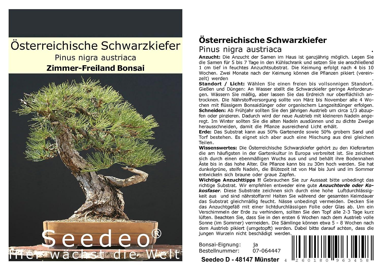 Seedeo/® /Österreichische Schwarzkiefer Bonsai 30 Samen