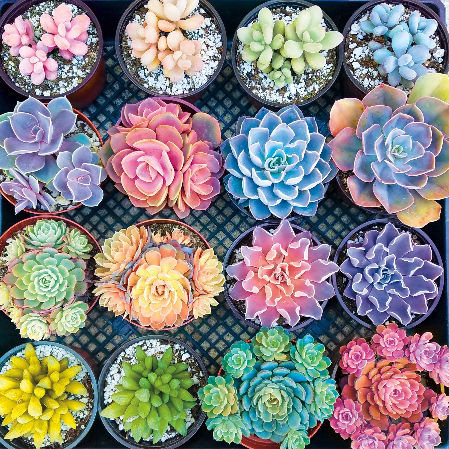 Buffalo Games - Sweet Succulents - 300 Large Piece Jigsaw Puzzle