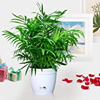 Nurturing Green Chamaedorea Palm Plant in Hermes Pot for home (Live Indoor Parlour Plant with pot for livingroom, bedroom, office etc) - Air Purifying Plants for Home