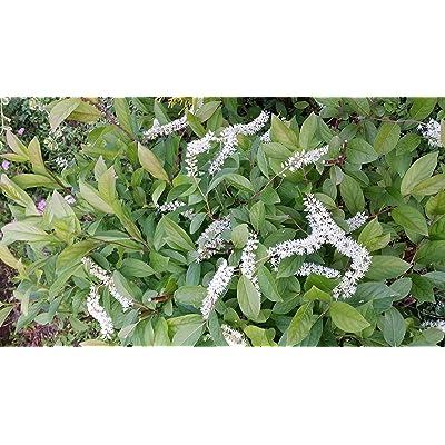 (1 Gallon) Henry's Garnet Sweetspire, Graceful Compact, Fragrant Drooping Spires, Native Plant, : Garden & Outdoor